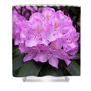 Rhododendron  ' Roseum Elegans ' Shower Curtain