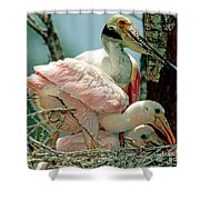 Roseate Spoonbill Adult With Young Shower Curtain