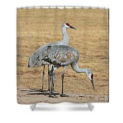 Sand Hill Cranes Eating Shower Curtain