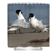 Sandwich Tern Bringing Fish To Its Mate Shower Curtain