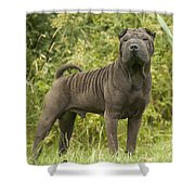 Shar Pei Dog Shower Curtain