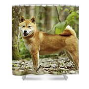Shiba Inu Dog Shower Curtain