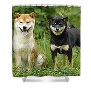 Shiba Inu Dogs Shower Curtain