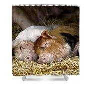 Sleeping Hogs  Shower Curtain