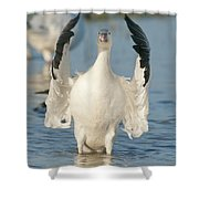 Snow Goose Flapping Skagit River Shower Curtain