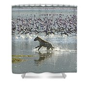 Spotted Hyaena Hunting For Food Shower Curtain