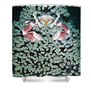 Spotted Porcelain Crab In Anemone Shower Curtain