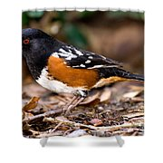 Spotted Towhee Pipilo Maculatus Shower Curtain