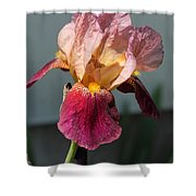 Tall Bearded Iris Named Indian Chief Shower Curtain