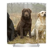 Three Kinds Of Labradors Shower Curtain