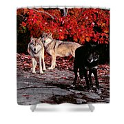 Timber Wolves Under  A Red Maple Tree Shower Curtain