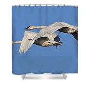 Trumpeter Swans Shower Curtain