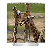 Two Reticulated Giraffes  - Giraffa Camelopardalis Shower Curtain