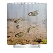 Underwater View Of Coho Salmon Shower Curtain