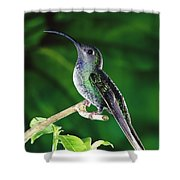 Violet Sabre-wing Hummingbird Shower Curtain by Michael and Patricia Fogden