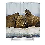 Walruses Resting On Ice Floe Shower Curtain