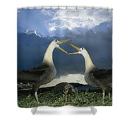 Waved Albatross Courtship Dance Shower Curtain by Tui De Roy