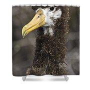 Waved Albatross Molting Juvenile Shower Curtain
