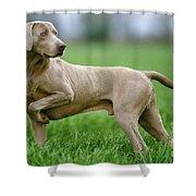 Weimaraner Dog Shower Curtain