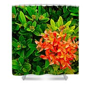 West Indian Jasmine In Sukhothai Historical Park-thailand Shower Curtain