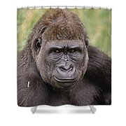 Western Lowland Gorilla Young Male Shower Curtain