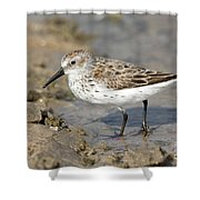 Western Sandpiper Calidris Mauri Shower Curtain