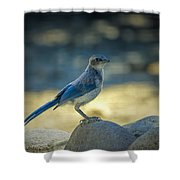Western Scrub Jay Thief Shower Curtain