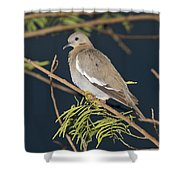 White-winged Dove Shower Curtain