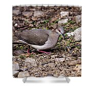 Whitetipped Dove Shower Curtain