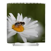 Wildflower Named Oxeye Daisy Shower Curtain