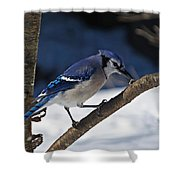 Hungry Winter Blue Jay Shower Curtain