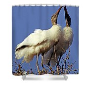 Wood Stork Courtship Display Shower Curtain