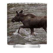 Yearling Moose In The Shoshone River   #1289 Shower Curtain