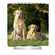 Yellow Labrador Retrievers Shower Curtain