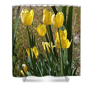 Yellow Tulips At The Arboretum Shower Curtain