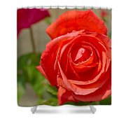Young Red Rose After Rain Shower Curtain