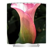 Zantedeschia Named Mozart Shower Curtain