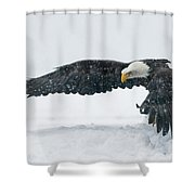 Bald Eagle Haliaeetus Leucocephalus Shower Curtain