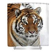 Tigre De Siberie Panthera Tigris Altaica Shower Curtain