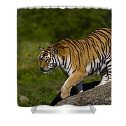 Siberian Tiger, China Shower Curtain