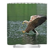 White-tailed Sea Eagle In Norway Shower Curtain