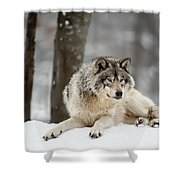 Timber Wolf Pictures Shower Curtain by Wolves Only