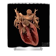 Heart Anatomy Shower Curtain