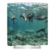 Playful Sealions In Baja Shower Curtain