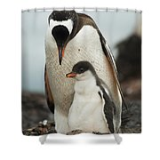 Gentoo Penguin With Young Shower Curtain