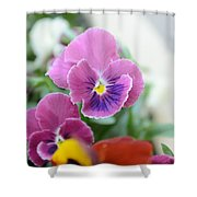 Viola Tricolor Heartsease Shower Curtain