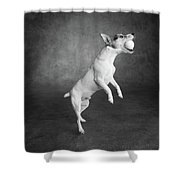 Portrait Of A Jack Russell Terrier Dog Shower Curtain