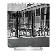 1930s Kennel Yard Full Of Foxhound Dogs Shower Curtain
