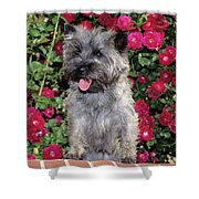 1990s Cairn Terrier Dog Standing Shower Curtain