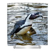 African Penguin Eating Fish Shower Curtain